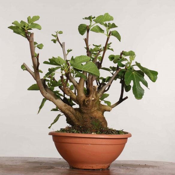 Ficus carica - B1197
