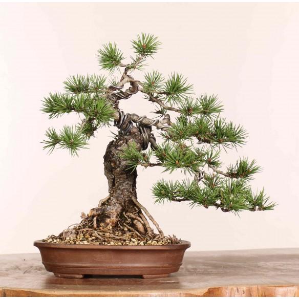 Pinus sylvestris - B1210