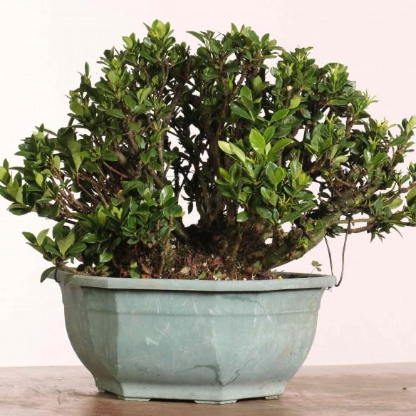 Gardenia jasminoides - B1212