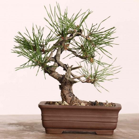 Pinus sylvestris - B1213