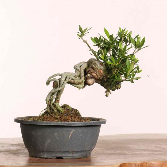 Gardenia jasminoides - B1216