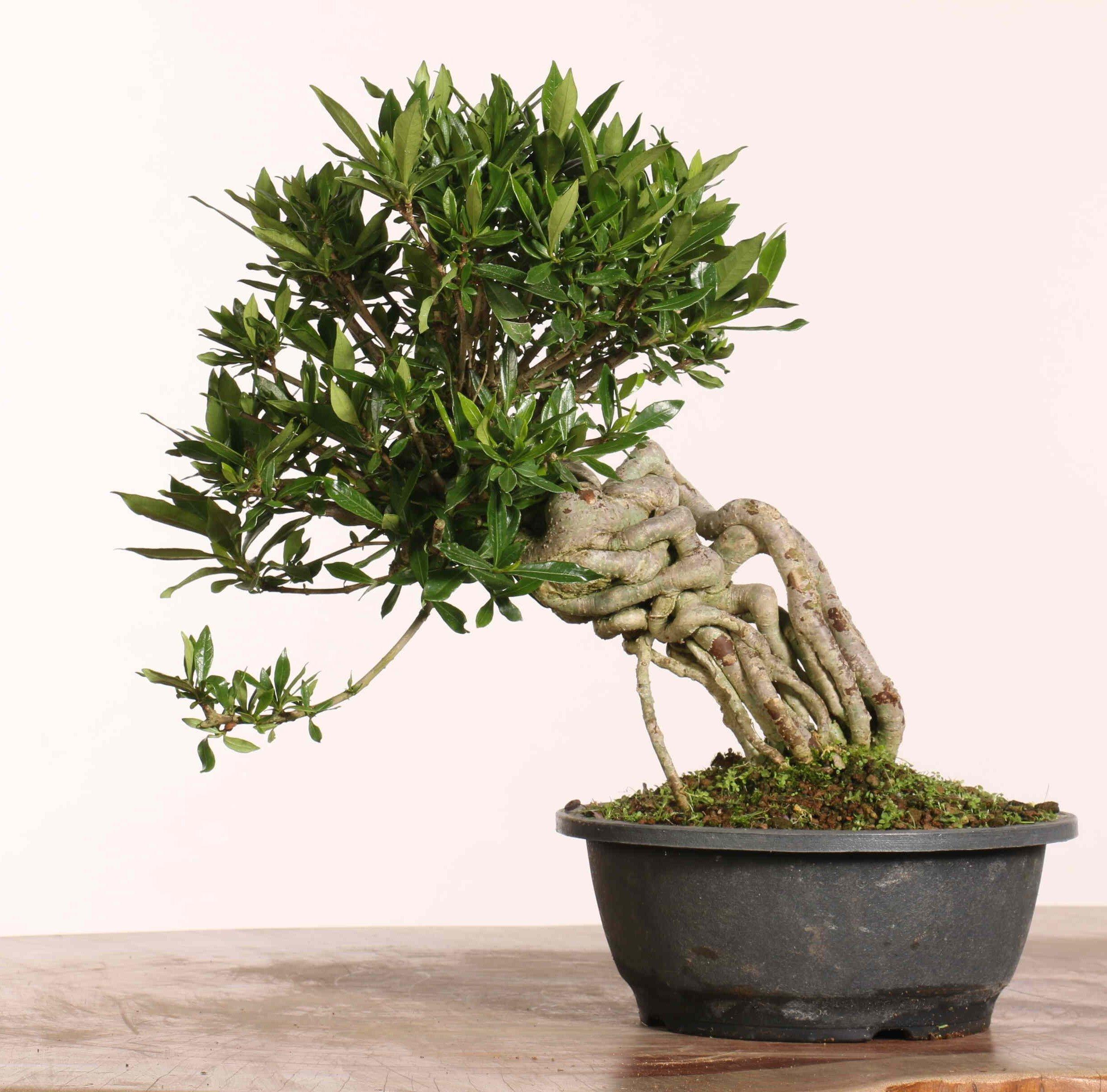 Gardenia jasminoides - B1217