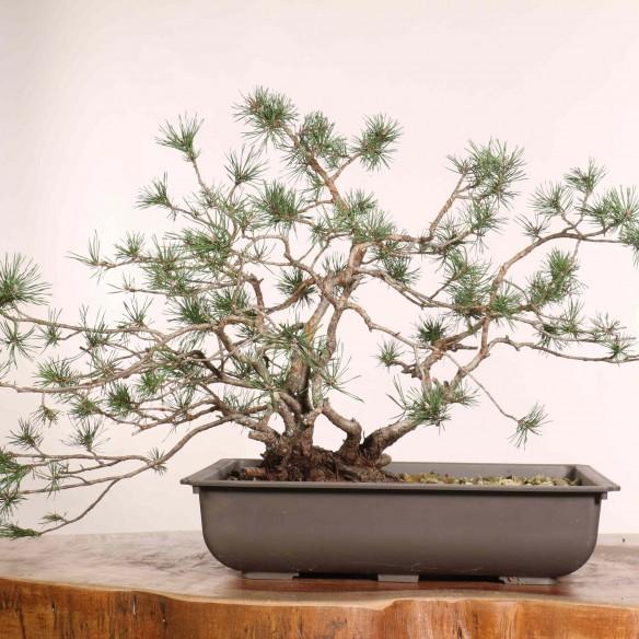 Pinus sylvestris - B1219