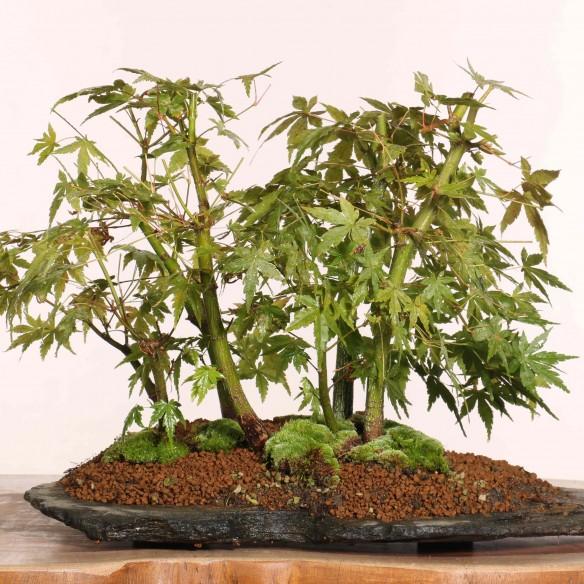 Acer palmatum - B1220