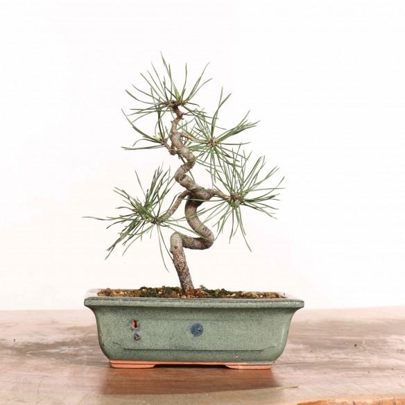 Pinus sylvestris - B1222