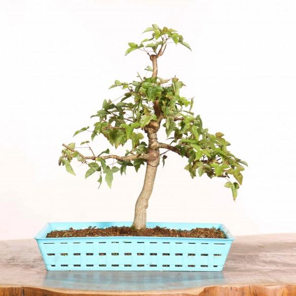 Acer buergerianum - B1225