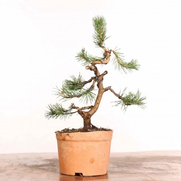 Pinus sylvestris - B1227