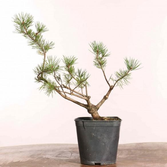 Pinus sylvestris - B1230