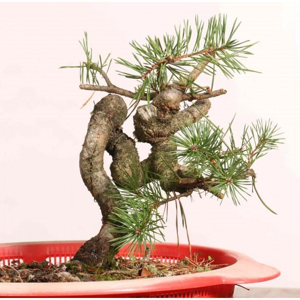 Pinus sylvestris - B1234