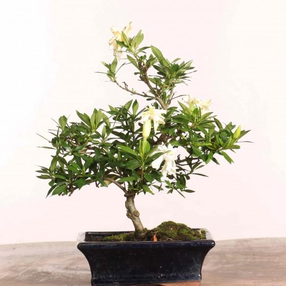 Gardenia jasminoides - B1235