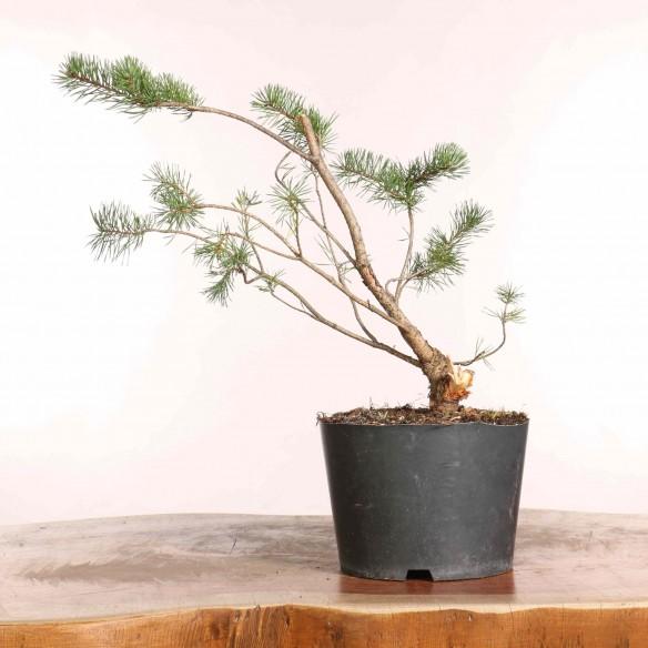 Pinus sylvestris - B1236