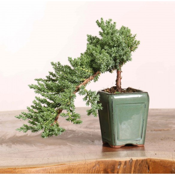 Juniperus procumbens nana -...