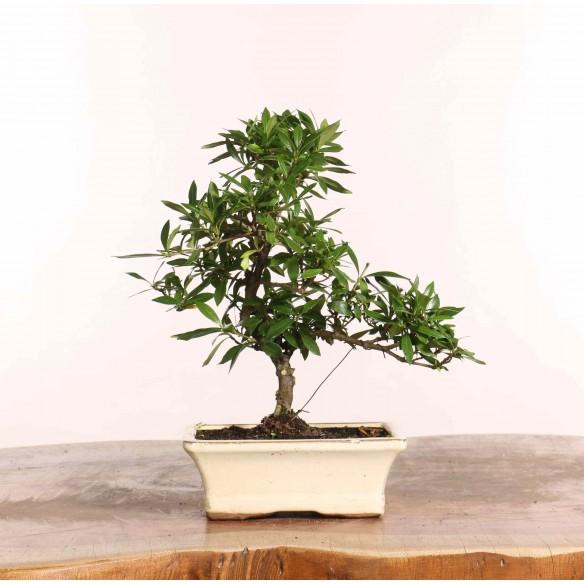 Gardenia jasminoides - B1239