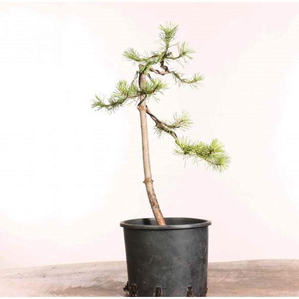 Pinus sylvestris - B1242
