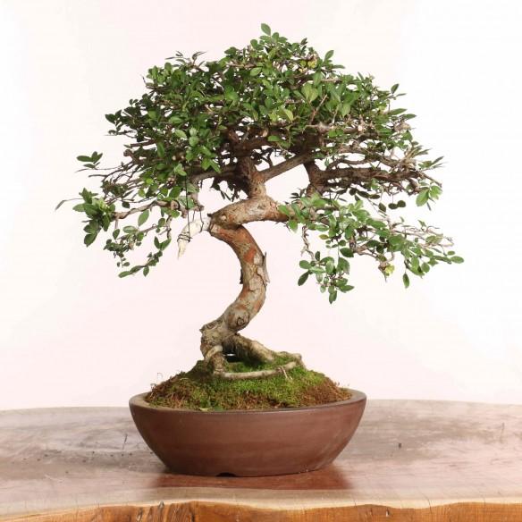 Ulmus parvifolia - B1243