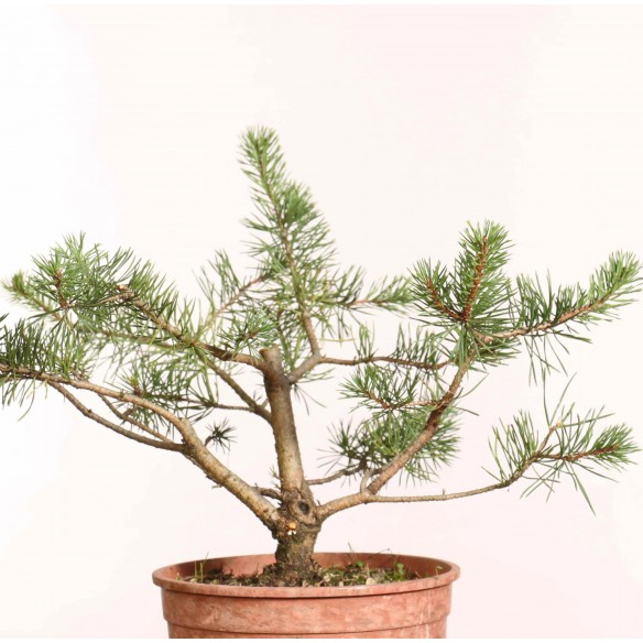 Pinus sylvestris - B1244