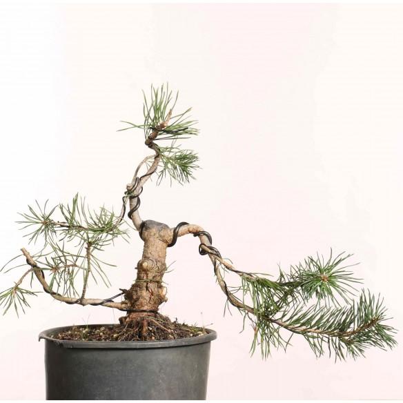 Pinus sylvestris - B1245