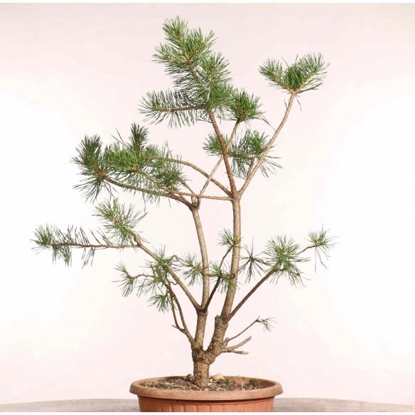 Pinus sylvestris - B1246