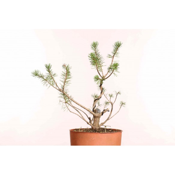 Pinus sylvestris - B1247