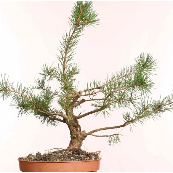 Pinus sylvestris - B1248