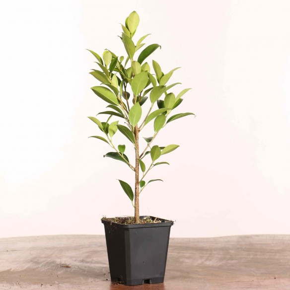 Ficus retusa 'tiger bark'