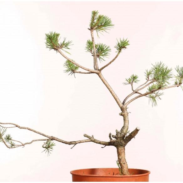 Pinus sylvestris - B1251