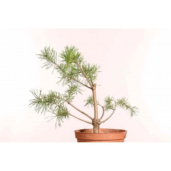 Pinus sylvestris - B1252