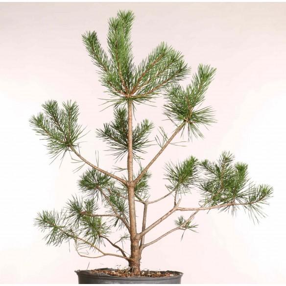Pinus sylvestris - B1253