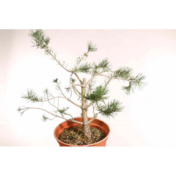 Pinus sylvestris - B1255