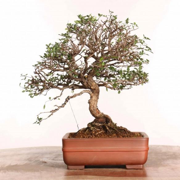 Ulmus parvifolia - B1256