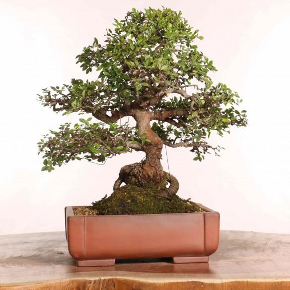 Ulmus parvifolia - B1257