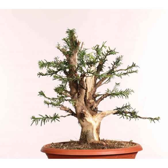 Taxus baccata - B1258