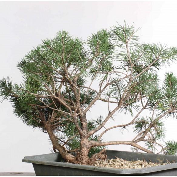Pinus sylvestris - B1260