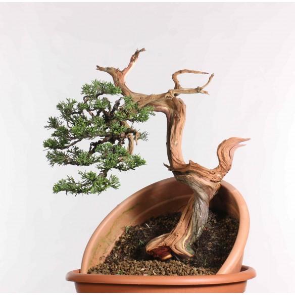 Juniperus sabina - B1261