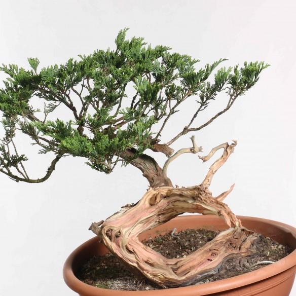 Juniperus sabina - B1262