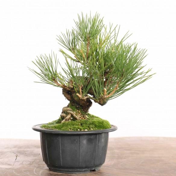 Pinus thunbergii - B1271