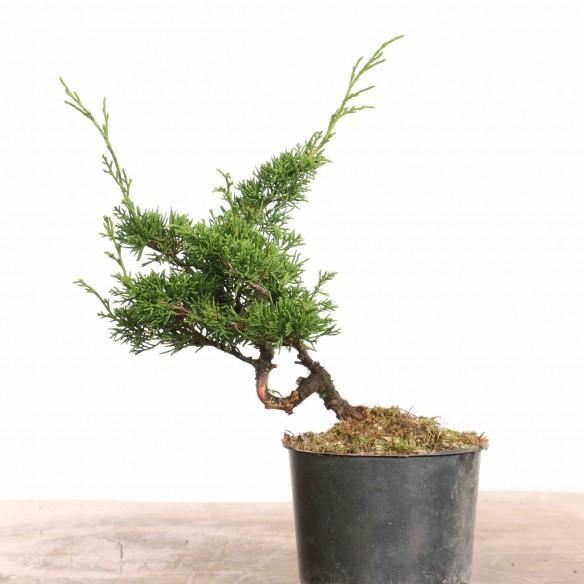 Juniperus 'itoigawa' - B1273