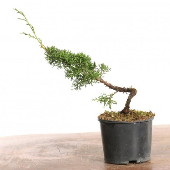 Juniperus 'itoigawa' - B1274