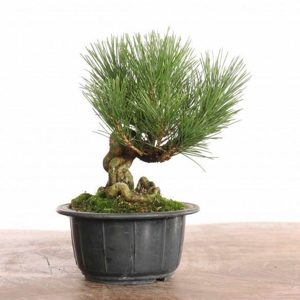 Pinus thunbergii - B1275
