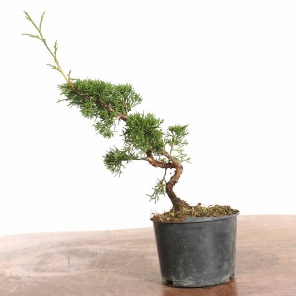Juniperus 'itoigawa' - B1276