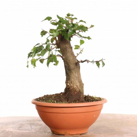 Carpinus turczaninowii - B1278