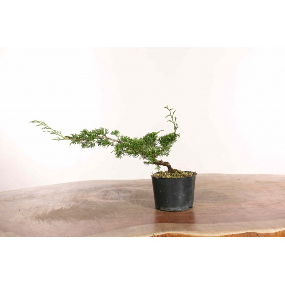 Juniperus 'itoigawa' - B1279