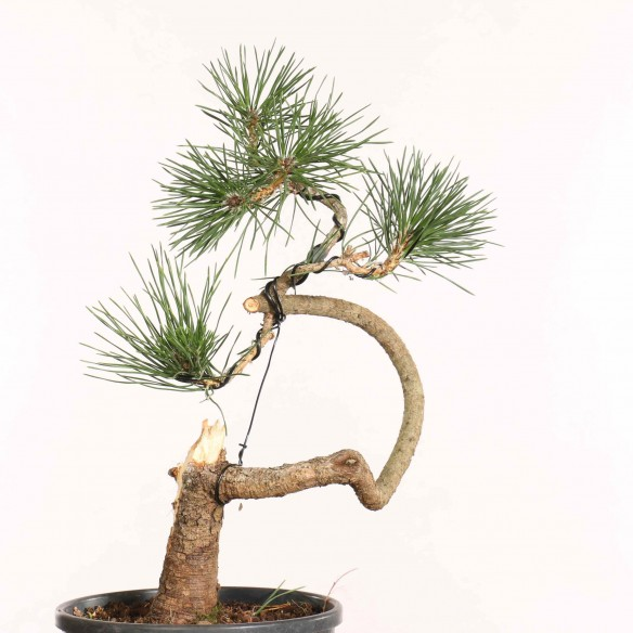 Pinus thunbergii - B1280