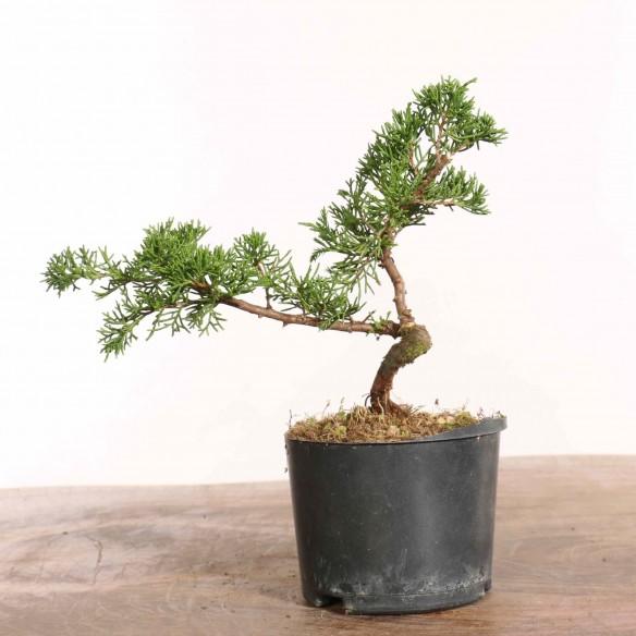 Juniperus 'itoigawa' - B1283