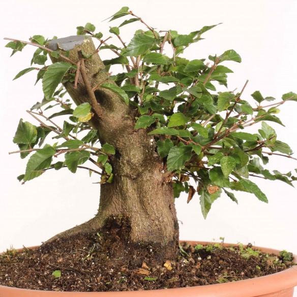 Carpinus turczaninowii - B1284