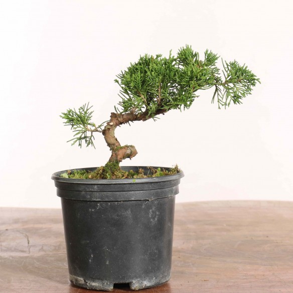Juniperus 'itoigawa' - B1285