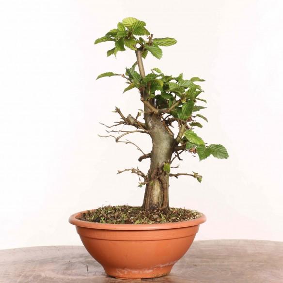 Carpinus betulus - B1293