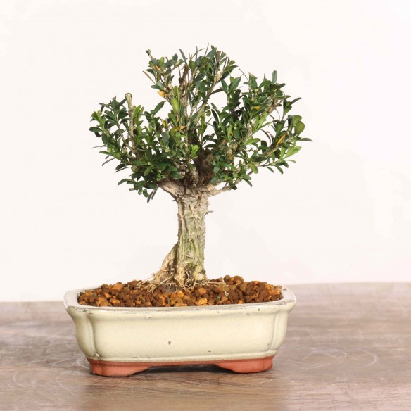 Buxus harlandii - B1294