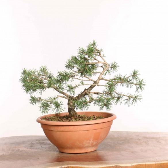 Pinus sylvestris - B1298