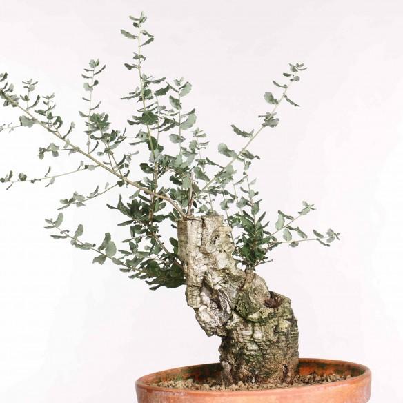 Quercus suber - B1299